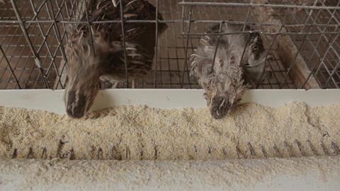 Quail Feeding In Battery Farm 02 stock footage