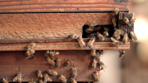 Bees entering hive Footage