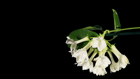 Time-lapse opening white stephanotis flower buds A Footage