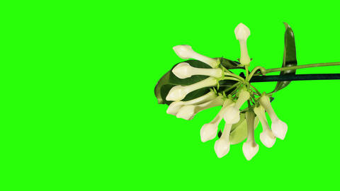 Time-lapse opening white stephanotis flower buds g Footage