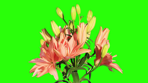Blooming orange lily flower buds green screen, FUL Live Action
