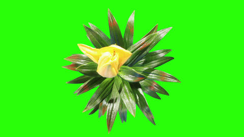 Blooming yellow lily flower buds green screen, FUL Live Action