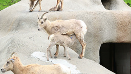 Rocky Mountain Bighorn Sheep Ewes and Lambs Footage