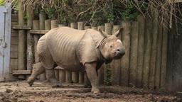 Indian Rhinoceros 1 Zoo Footage
