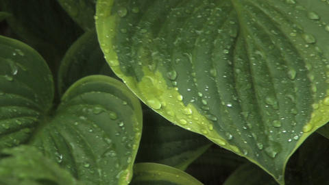 Rain on Leaves Pan Footage