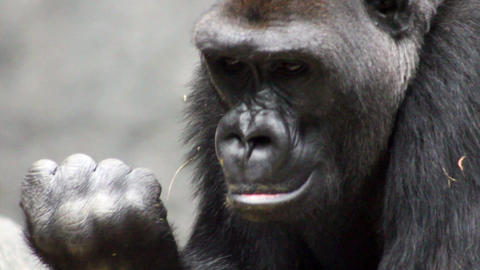 Amazing Gorilla Catches Fly stock footage