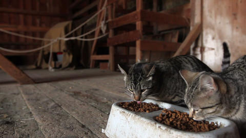 Barn Cats Eating Stock Video Footage