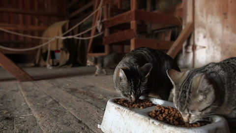 Barn Cats Eating Live Action