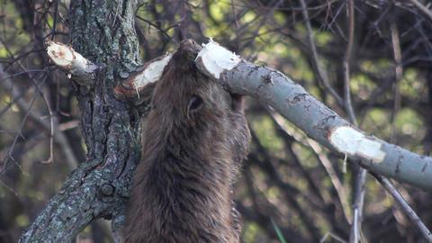 Beaver Eating Montage Footage
