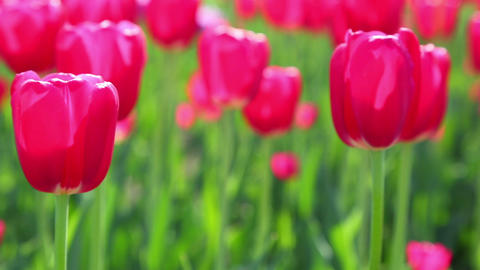 red tulips blooming closeup - slider dolly shot Footage