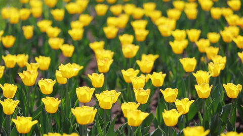 field of yellow tulips blooming - shallow depth of Live Action