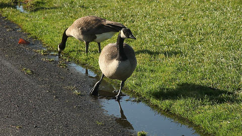 Two Canada Geese Drinking stock footage