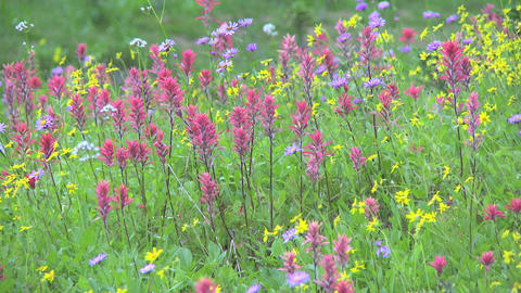 Alpine Meadow Wildflowers 04 Footage