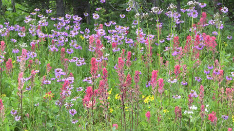 Alpine Meadow Wildflowers 14 Footage