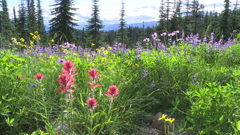 Alpine Meadow Wildflowers 08 Footage