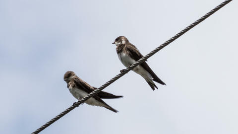 Swallows Footage