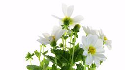 White Dahlia stock footage