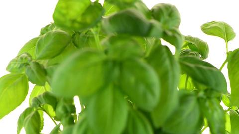 Green fresh basil Footage