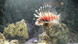 Lionfish, Red Firefish (Pterois Volitans) 2 Footage