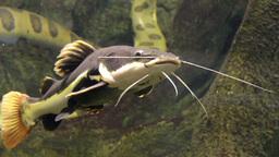 Redtail catfish (Phractocephalus hemioliopterus) Footage