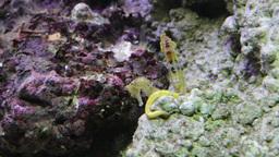Seahorse (Hippocampus) 2 stock footage