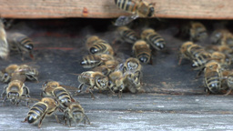 Bees at the inlet to the hive 2 Live Action