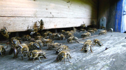 Bees at the inlet to the hive 4 Live Action