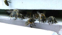 Bees at the inlet to the hive 6 Live Action