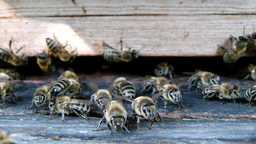 Bees at the inlet to the hive 8 Live Action