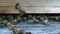 Bees at the inlet to the hive 12 Live Action