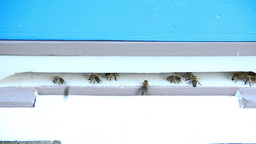 Bees at the inlet to the hive 14 Live Action