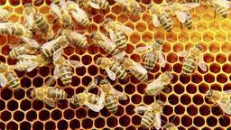 Bees on the honeycomb 2 Live Action