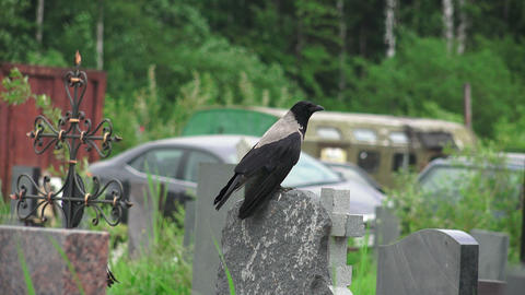 Crow in the cemetery. 4K Footage