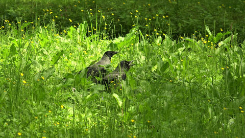 Crow in the grass. 4K Footage