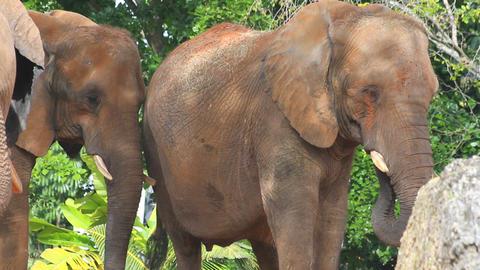 Elephants (2 shots) Footage