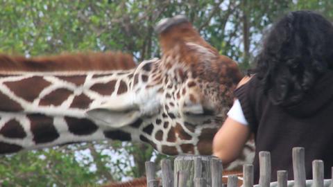 Feeding the Giraffe Footage