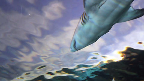Two Sharks from Low Angle Footage