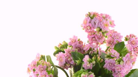 Kalanchoe Calandiva flowers Footage