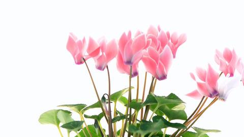 Beautiful pink Cyclamen flower Footage