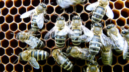 Bees on the honeycomb 5 Live Action