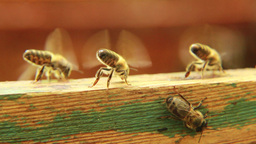 Bees are cooling down temperature in the hive. 2 Live Action