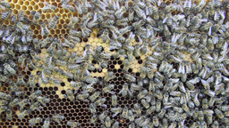 Bees on the honeycomb 14 Footage
