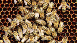 Bees on the honeycomb 18 Footage
