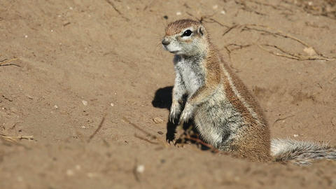 Alert African ground squirrel Footage
