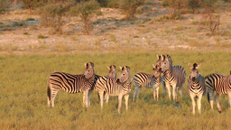 Alert Plains (Burchells) Zebras (Equus burchelli)  Footage