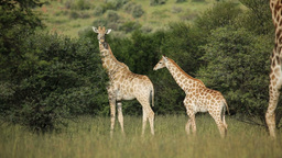 Giraffe family (Giraffa camelopardalis) in natural Footage