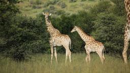Giraffe family (Giraffa camelopardalis) in natural Footage