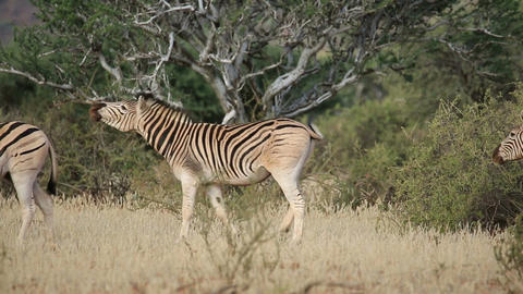 Plains (Burchells) Zebras (Equus burchelli) walkin Footage