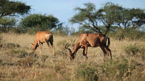 Red hartebeest antelopes (Alcelaphus buselaphus) g Footage