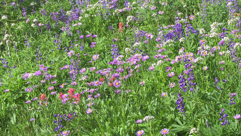 Alpine Meadow Wildflowers 10 Footage